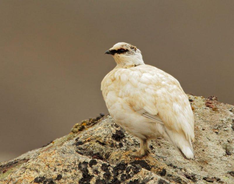 Rock Ptarmigan, male, non-breeding
