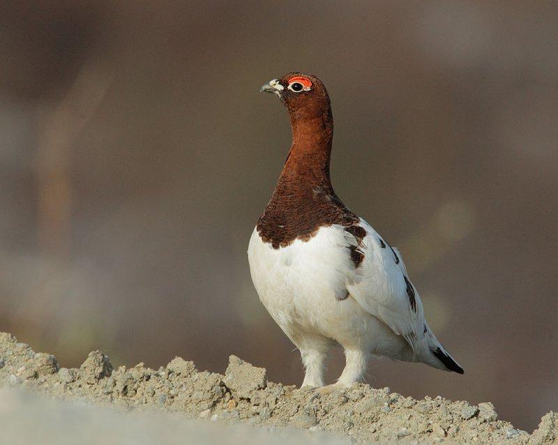 Willow Ptarmigan, between plumages