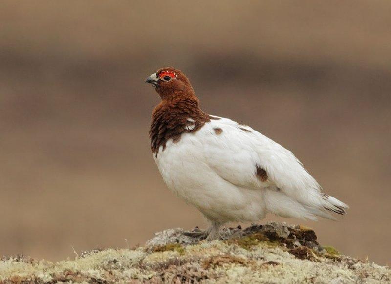 Willow Ptarmigan, male, between plumages