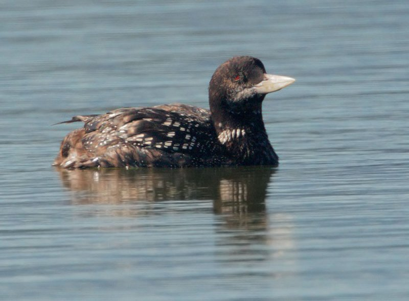 Yellow-billed Loon, molting from breeding plumage