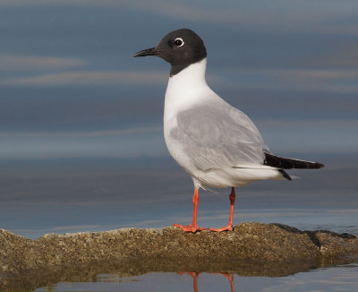 Bonapartes Gull, breeding plumage