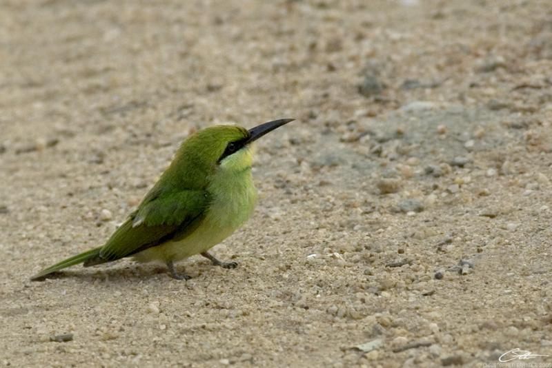 <i>Merops orientalis</i></br>Green Bee-eater