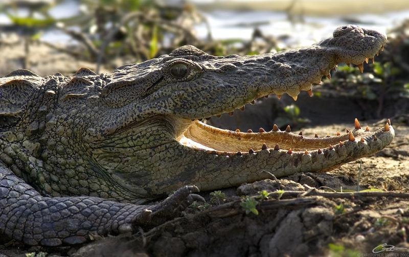 <i>Crocodylus palustris</i></br>Mugger Crocodile