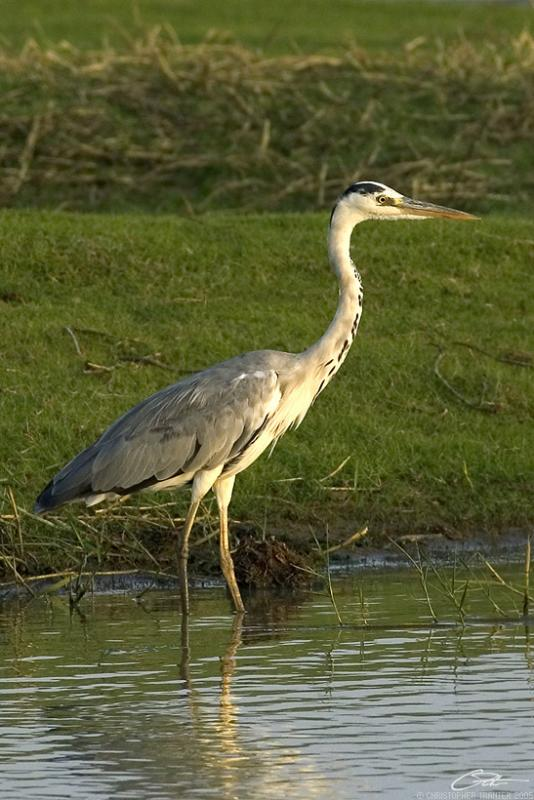 <i>Ardea cinerea</i> </br>Grey Heron