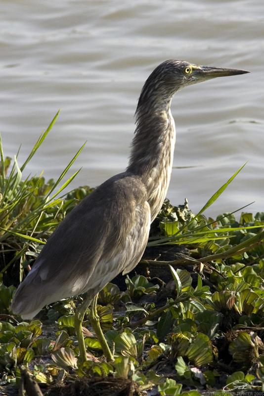 <i>Ardeola grayii</i> </br>Indian Pond Heron