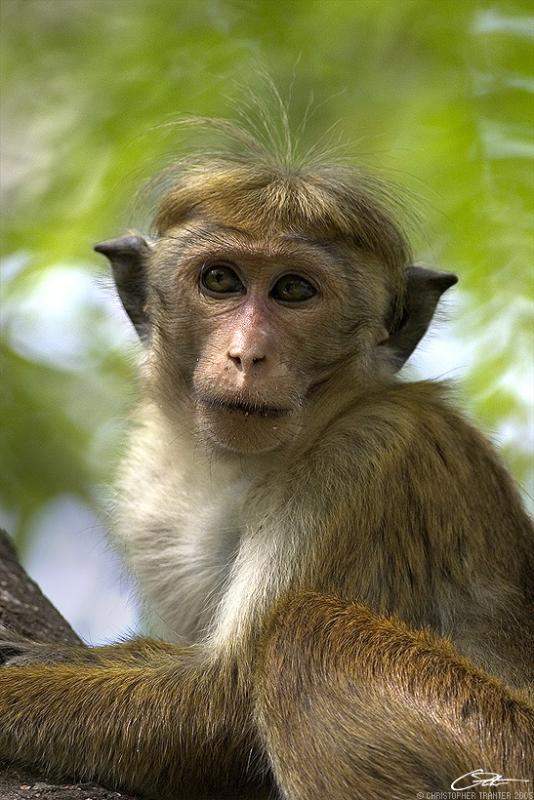 <i>Macaca sinica</i> </br>Toque Macaque