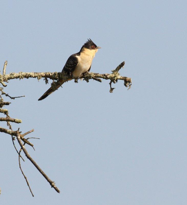 Kuifkoekoek - Clamator glandarius - Great Spotted Cuckoo