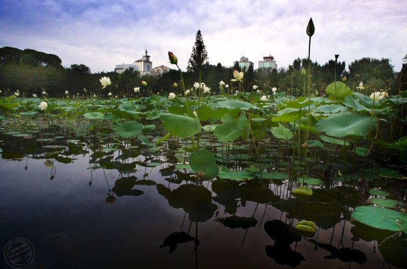 Yuyuantan Park.Lotus Field.