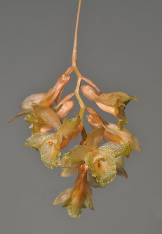 Bracisepalum densiflorum