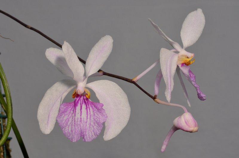 Holcoglossum kimballianum. Closer.