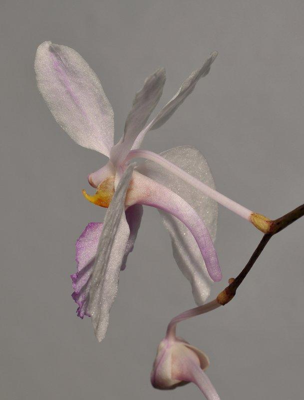 Holcoglossum kimballianum. Close-up side.
