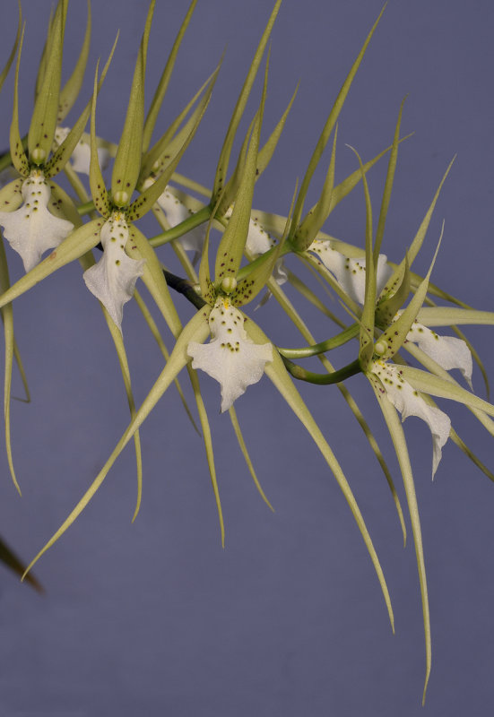Brassia verrucosa. Closer.