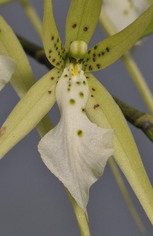 Brassia verrucosa. Close-up.