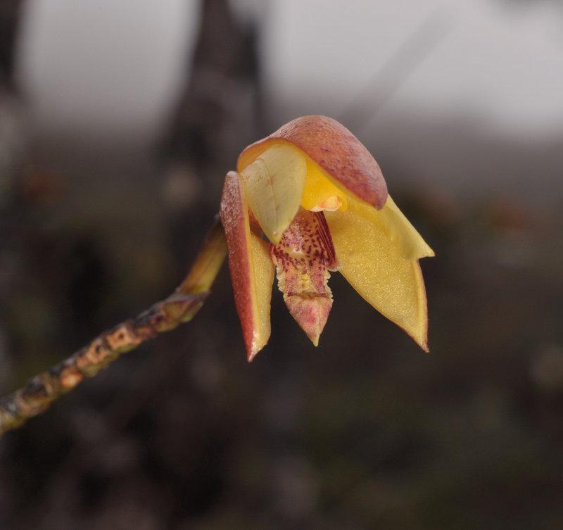 Bromheadia divaricata. Close-up.