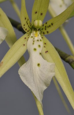 Brassia verrucosa. Close-up.