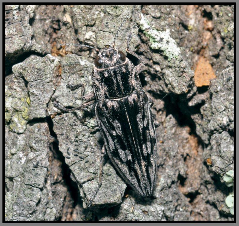 Buprestid Beetle (Chalcophora virginiensis)