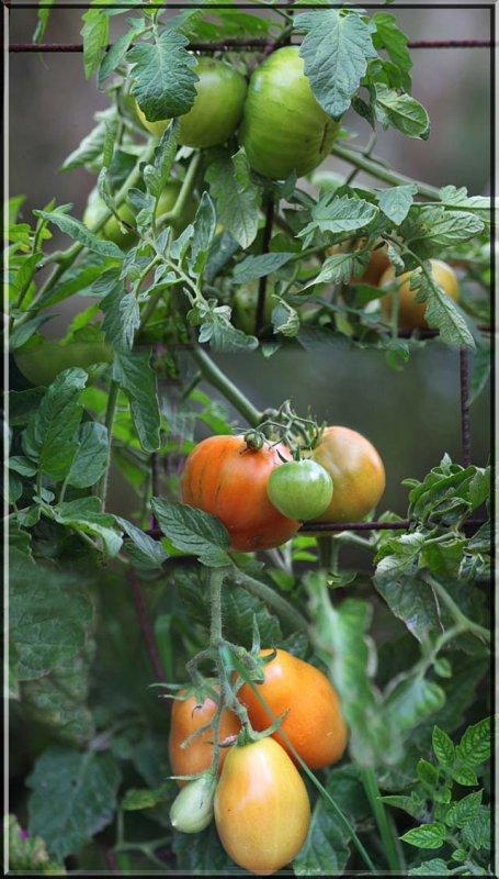 Dicks tomatoes in April