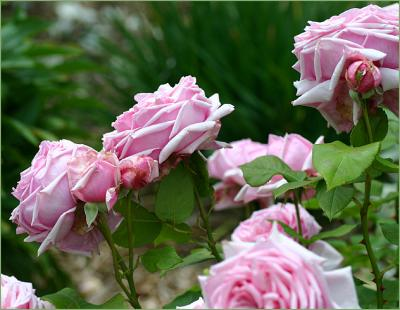 Heritage Rose Gardens in the Clare Valley GALLERY