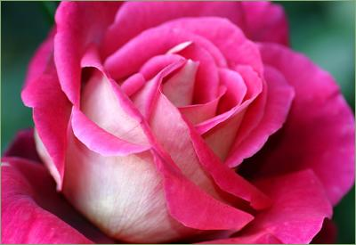 Pink Roses Down Under - 2005-2006 GALLERY