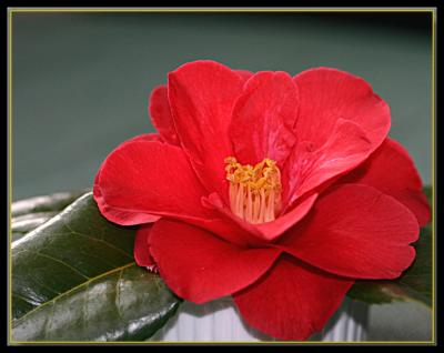 Camellia & hydrangea