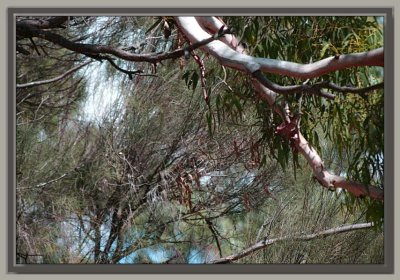 Casuarina and gum branches