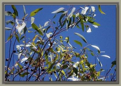 Gum leaves and nuts