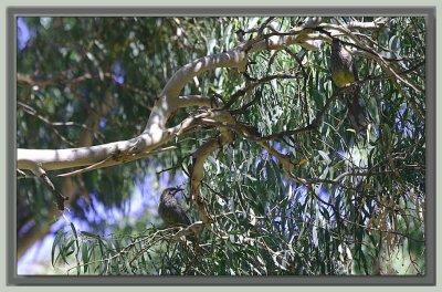 A pair of wattlebirds
