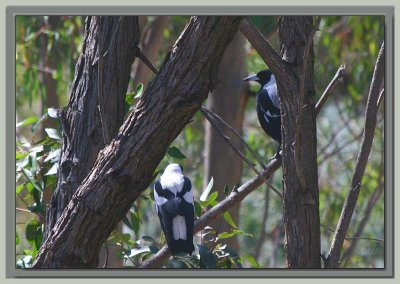 Pair of magpies