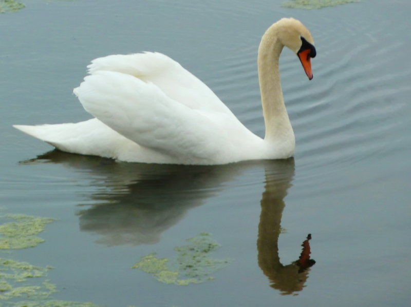 Swan - Collingwood Harbour