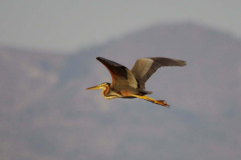 Purple Heron - Ardea purpurea