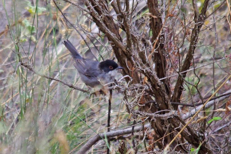 Sardinian Warbler
