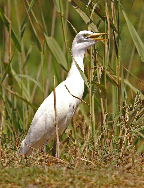Cattle Egret -  Bulbulcus ibis