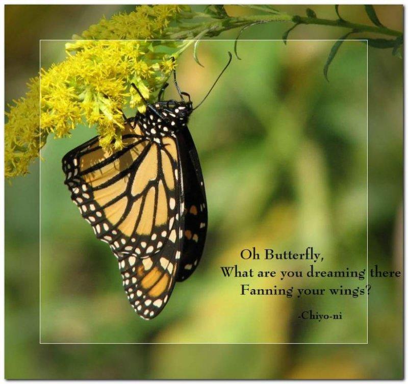 Haiku:  Dreaming butterfly