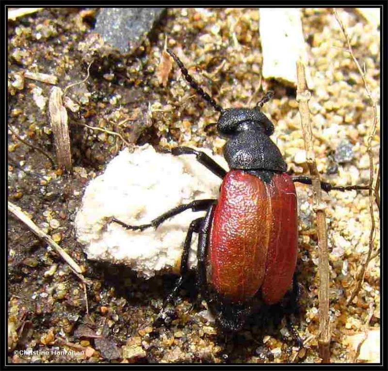 Blister beetle (<em>Tricrania sanguinipennis</em>)