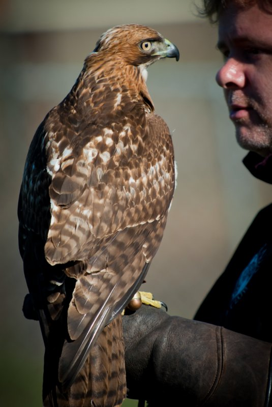 Red-Tailed Hawk & Trainer