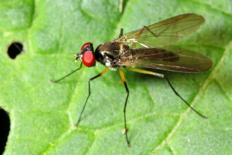 Neotanypeza sp. (Tanypezidae)