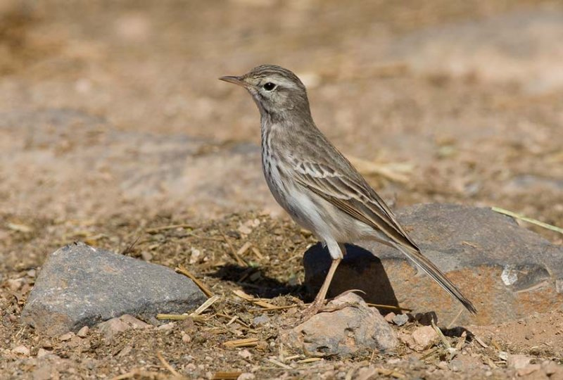 Berthelots Pipit (Anthus berthelotii)