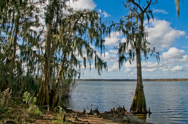 Cyprus Trees Covered in Spanish Moss on South Side Lake Jessup, Winter Springs, FL