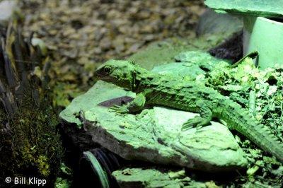 Tutatara,  Wildlife Center Queenstown  1