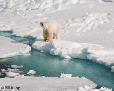 Polar Bear, Svalbard 14