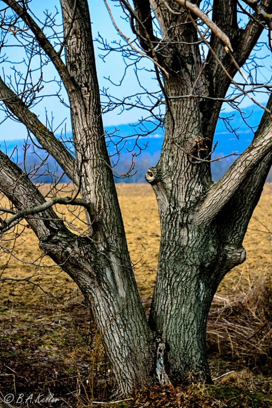 A pair of trees..