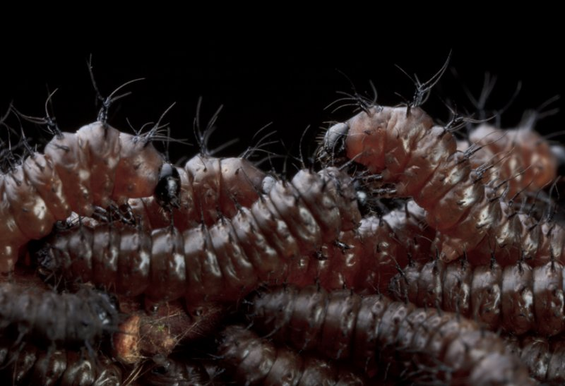 New England Buck Moth Cluster - First Instars