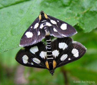 Anania funebris glomeralis - 4958a - White-spotted Sable moth
