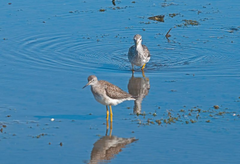 Greater Yellowlegs w/Lesser Yellowlegs in front
