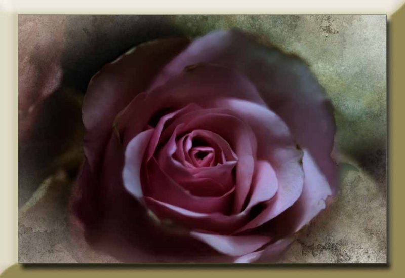 fading pink rose...