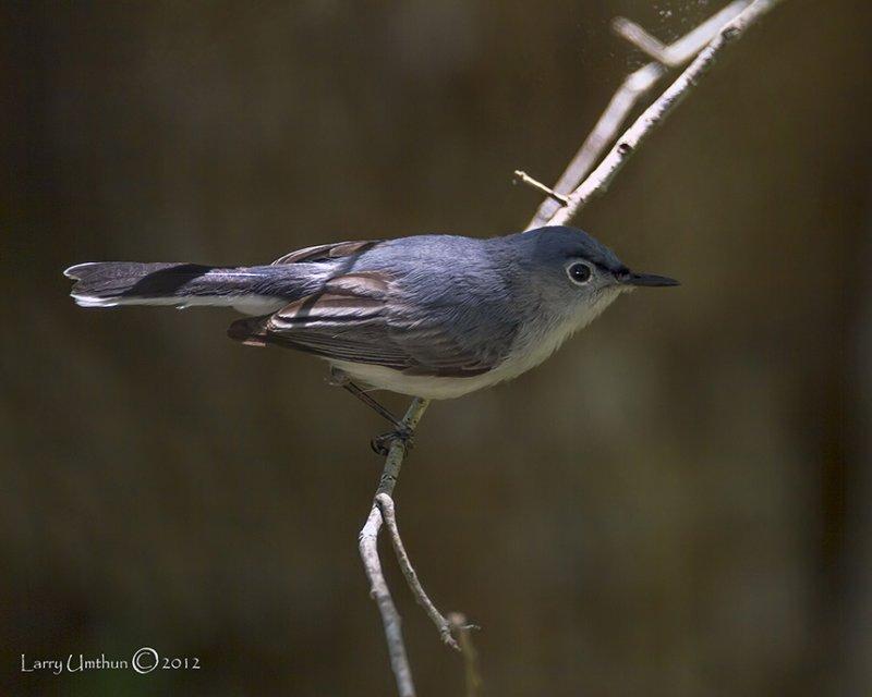 Blue-gray Gnatcatcher (Eastern)