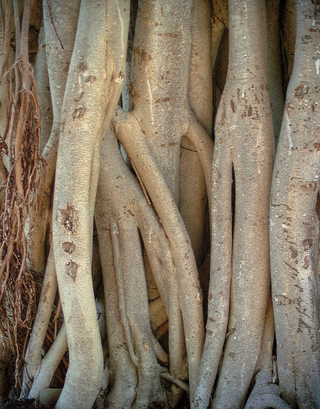 Fig tree aerial roots