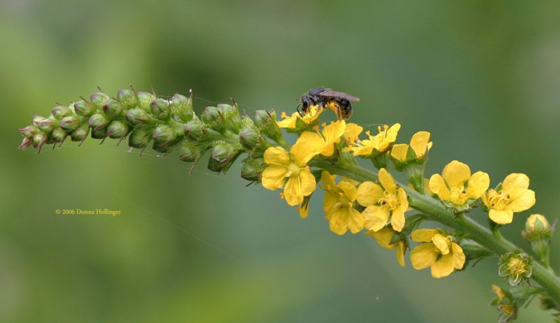 Yellow Mullein Flower with Bee