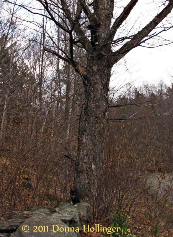 Rosie climbing the maple tree