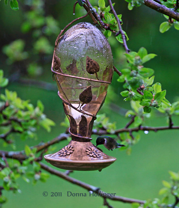 Its really pouring down rain,,.but the hummingbird needs his food